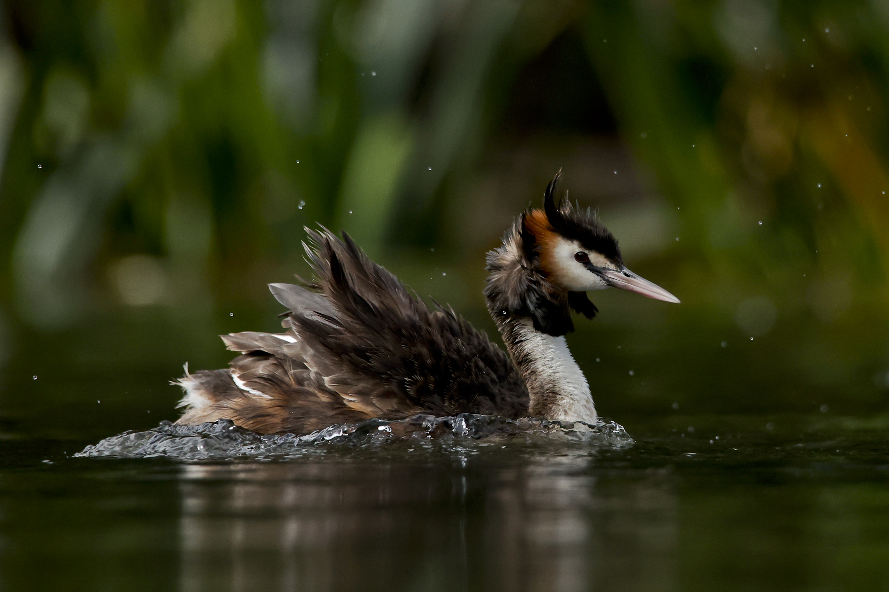 Great Crested Grebe (Image ID 44981)