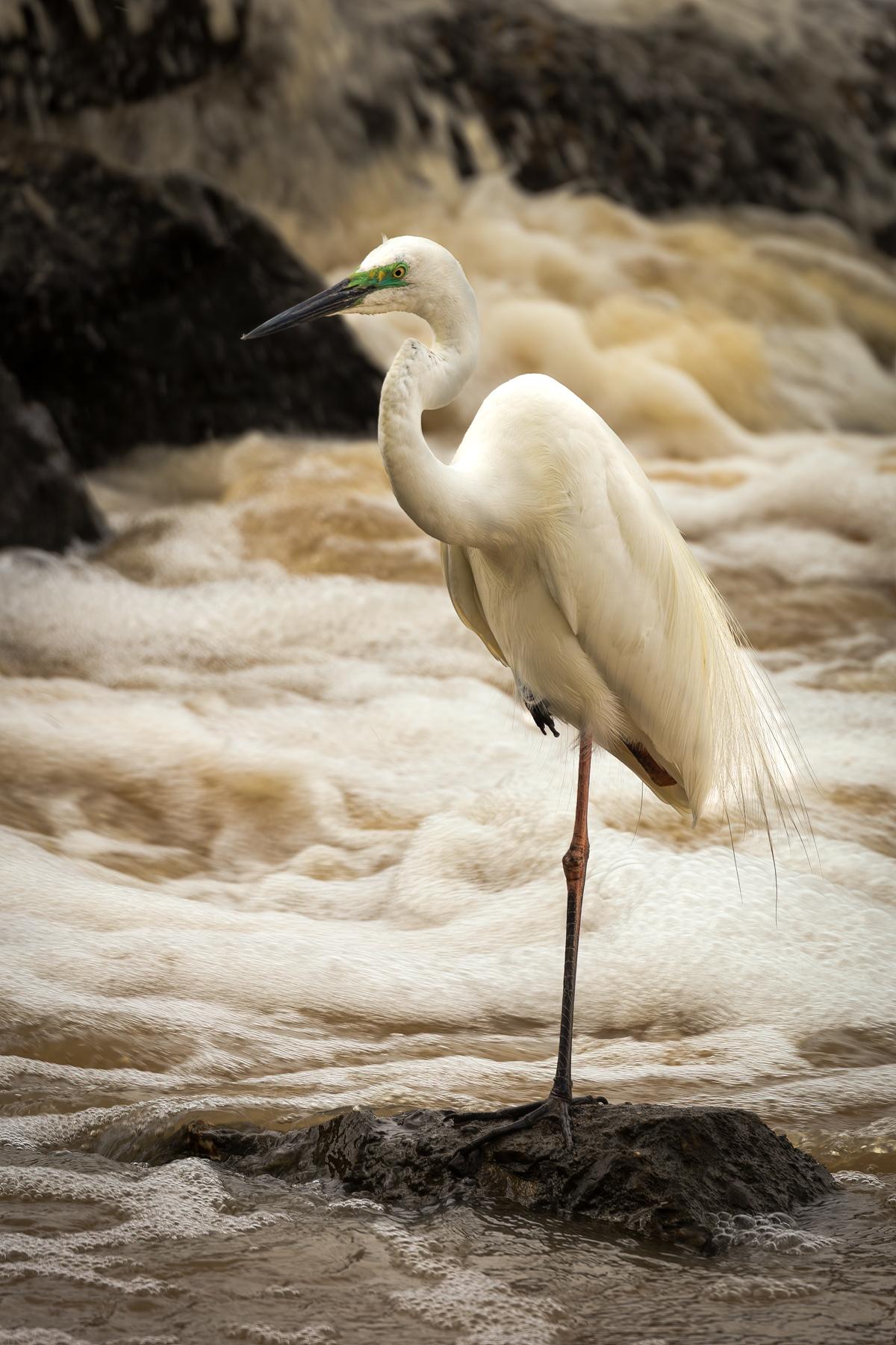 Great Egret (Image ID 44984)
