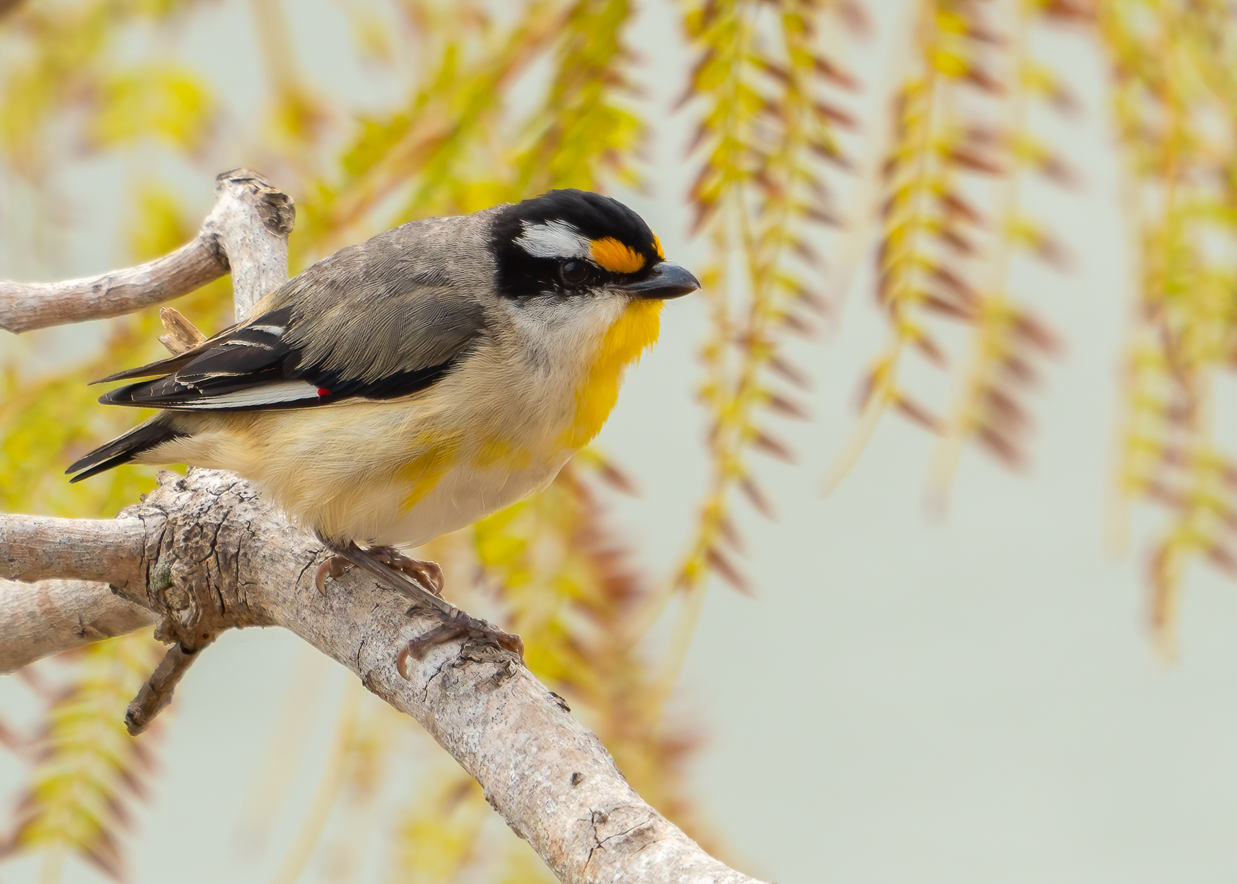 Striated Pardalote (Image ID 44823)