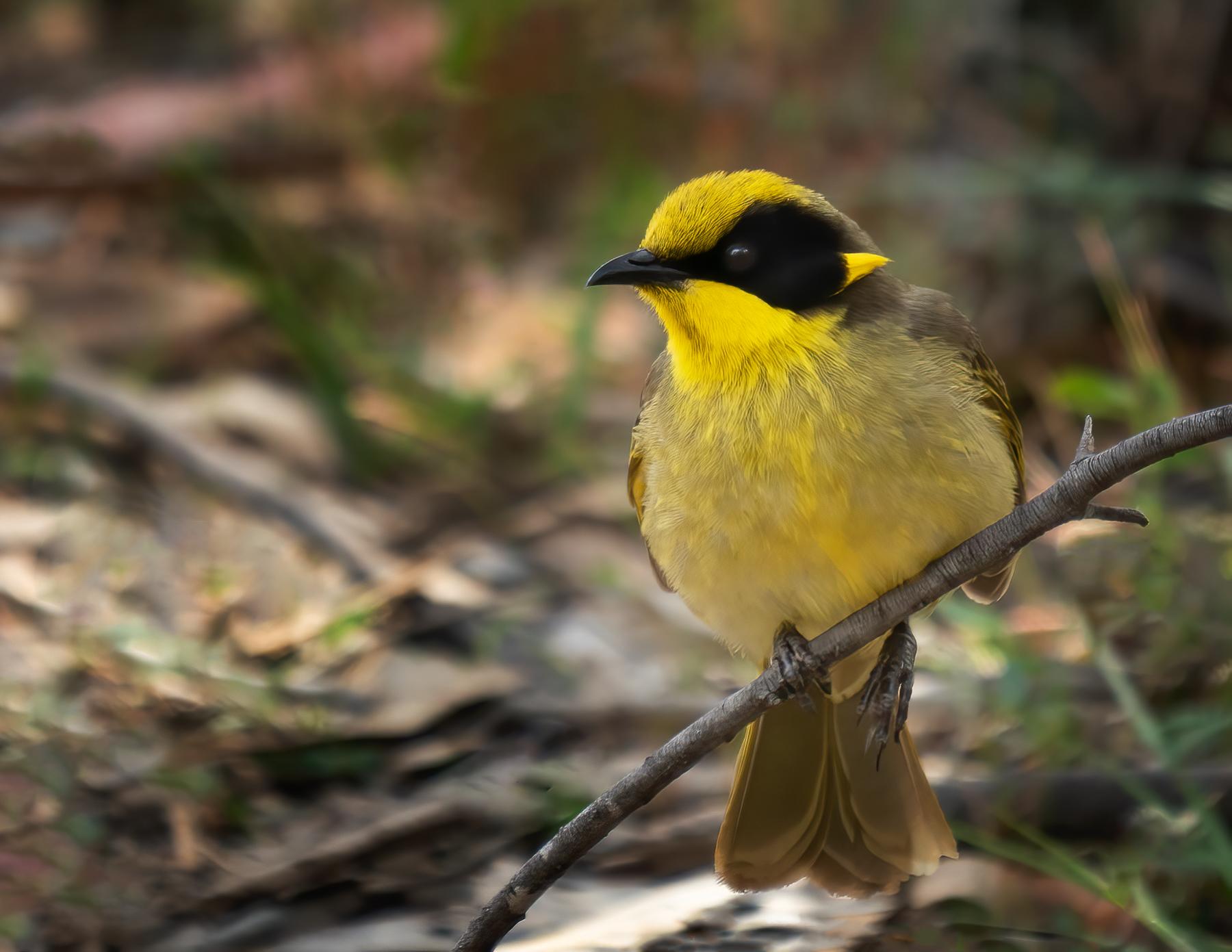 Yellow-tufted Honeyeater (Image ID 44824)