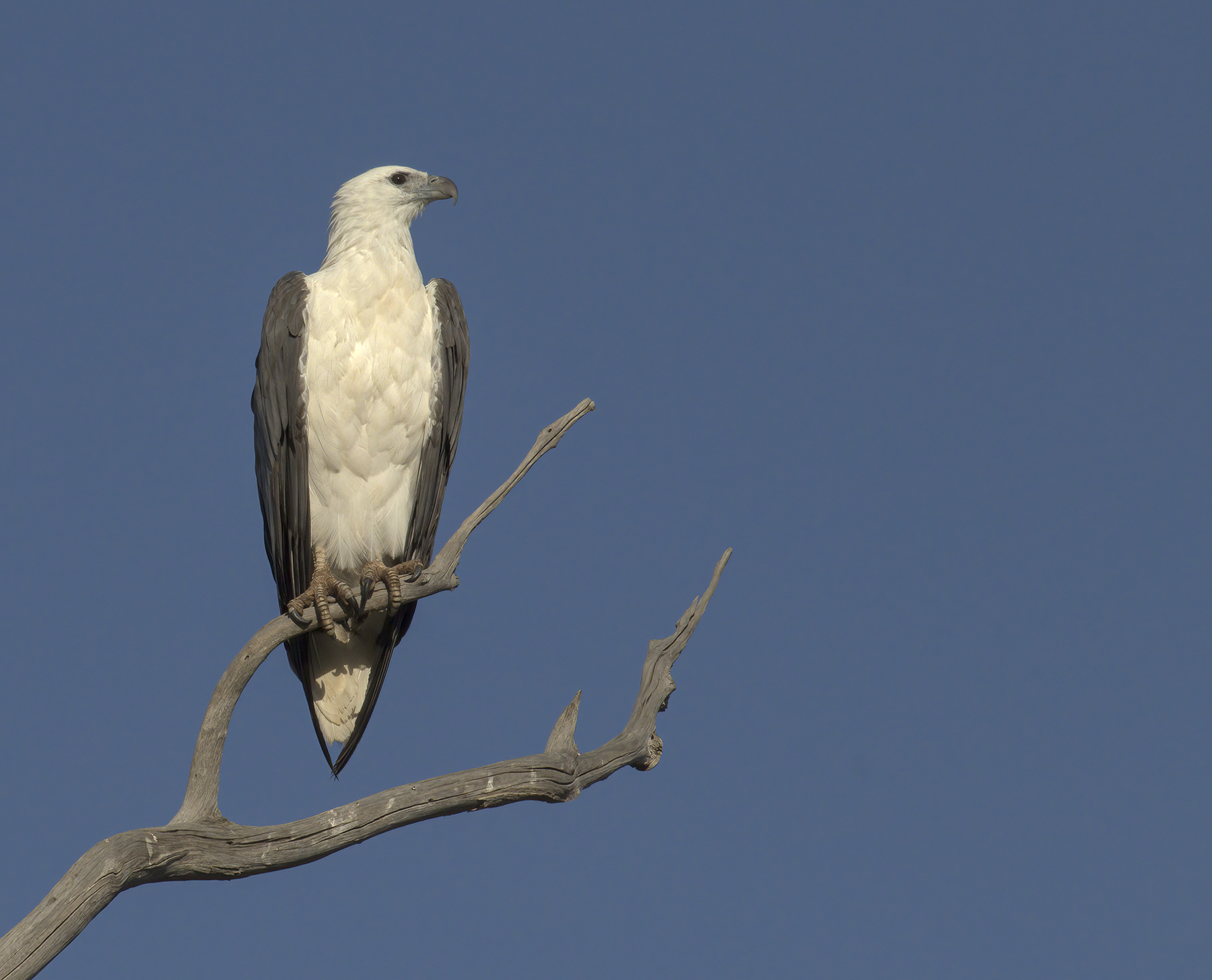 White-bellied Sea-Eagle (Image ID 44894)