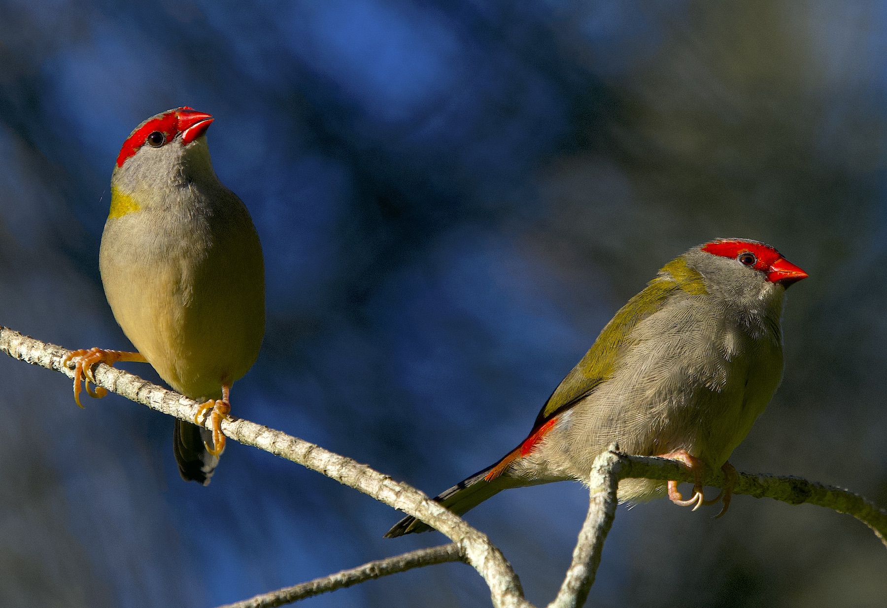 Red-browed Finch (Image ID 44872)