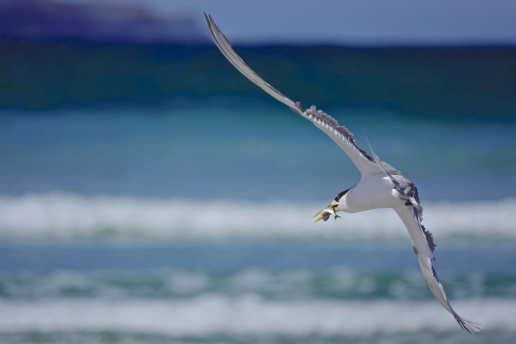 Greater Crested Tern (Image ID 45358)