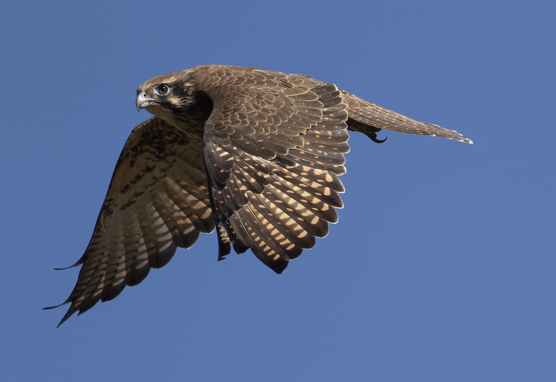Brown Falcon (Image ID 45295)