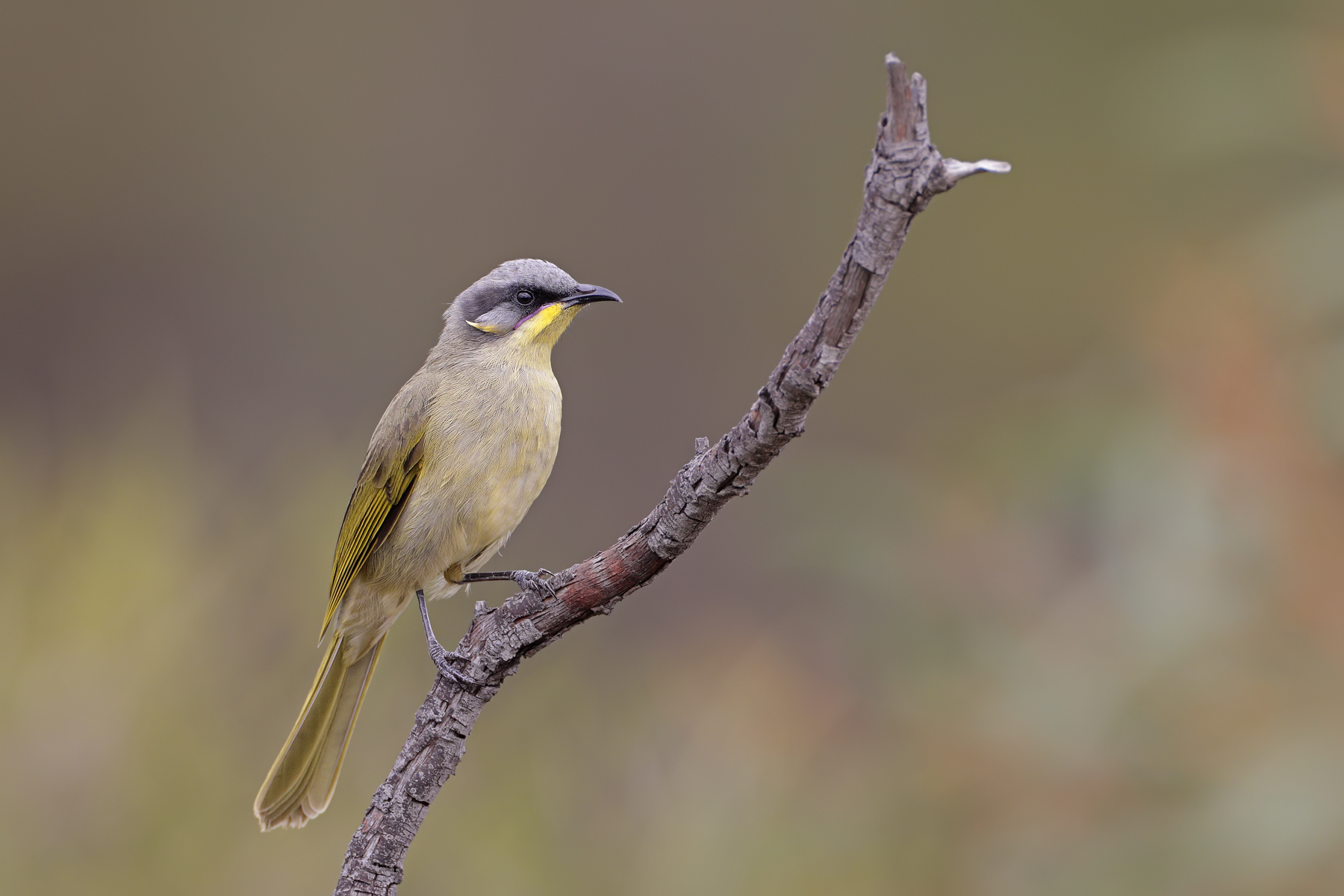 Purple-gaped Honeyeater (Image ID 45496)