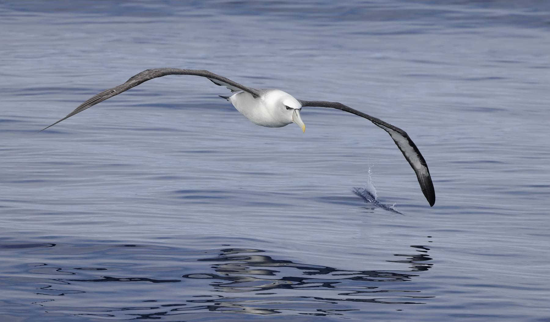 Shy Albatross (Image ID 45111)