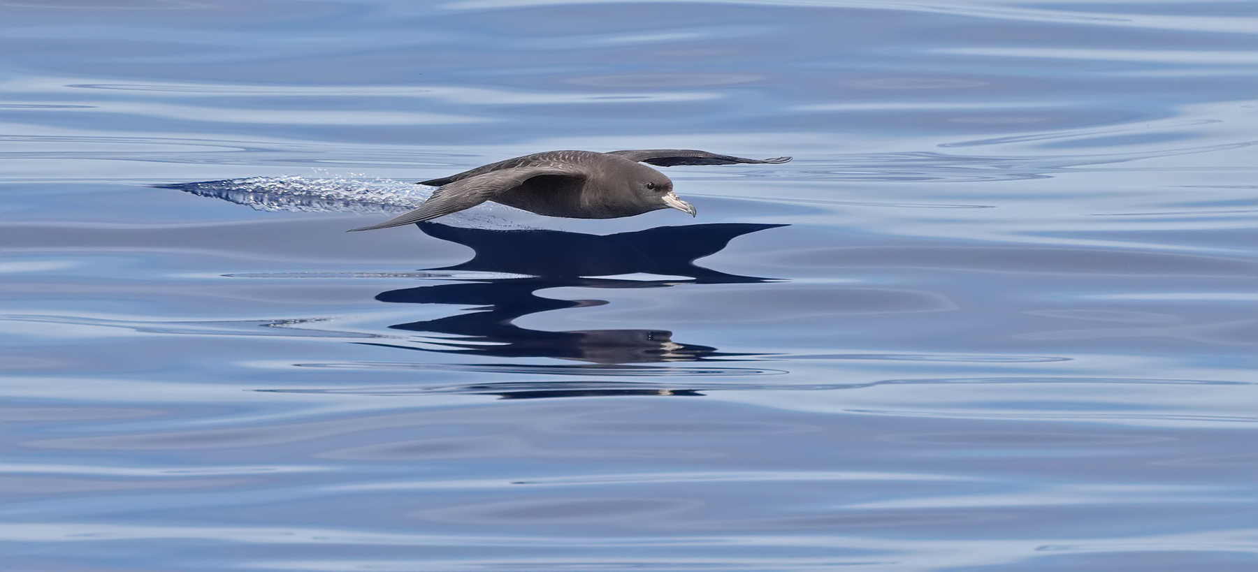 Flesh-footed Shearwater (Image ID 45497)