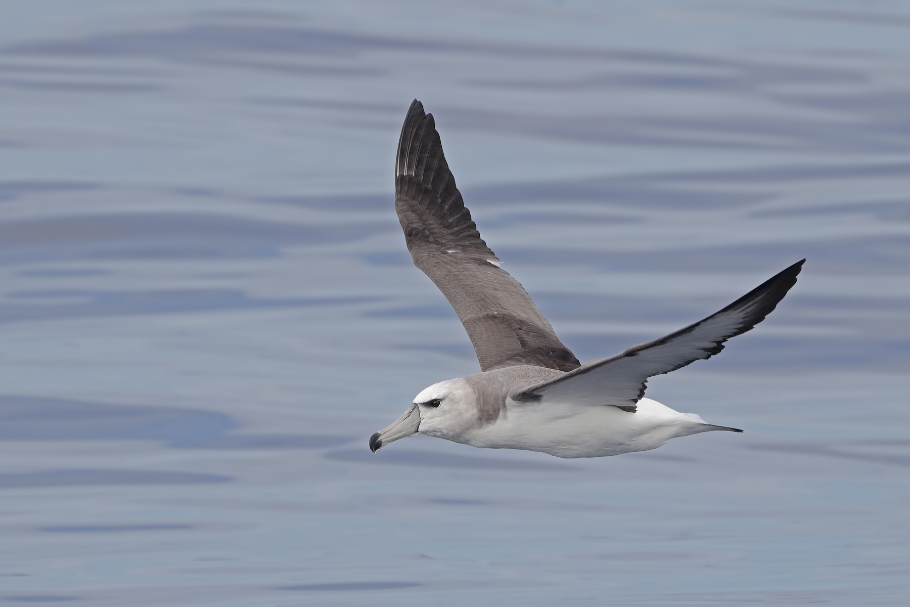 Shy Albatross (Image ID 45467)