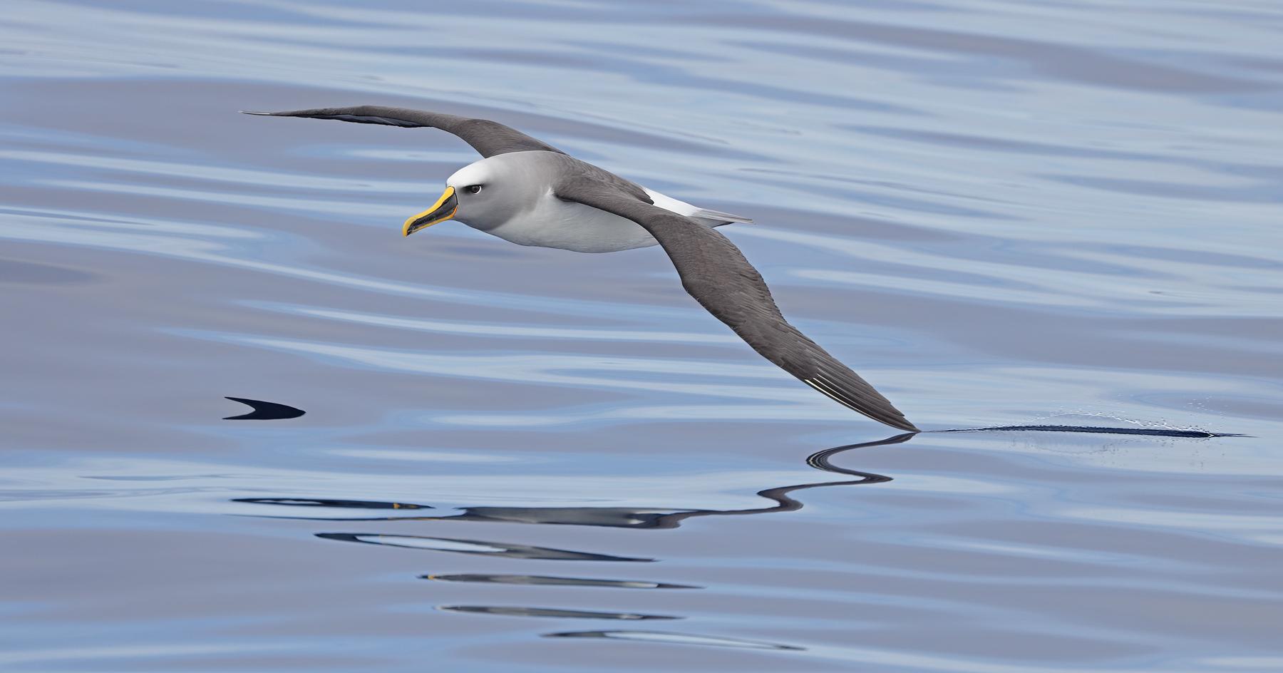 Buller's Albatross (Image ID 45258)