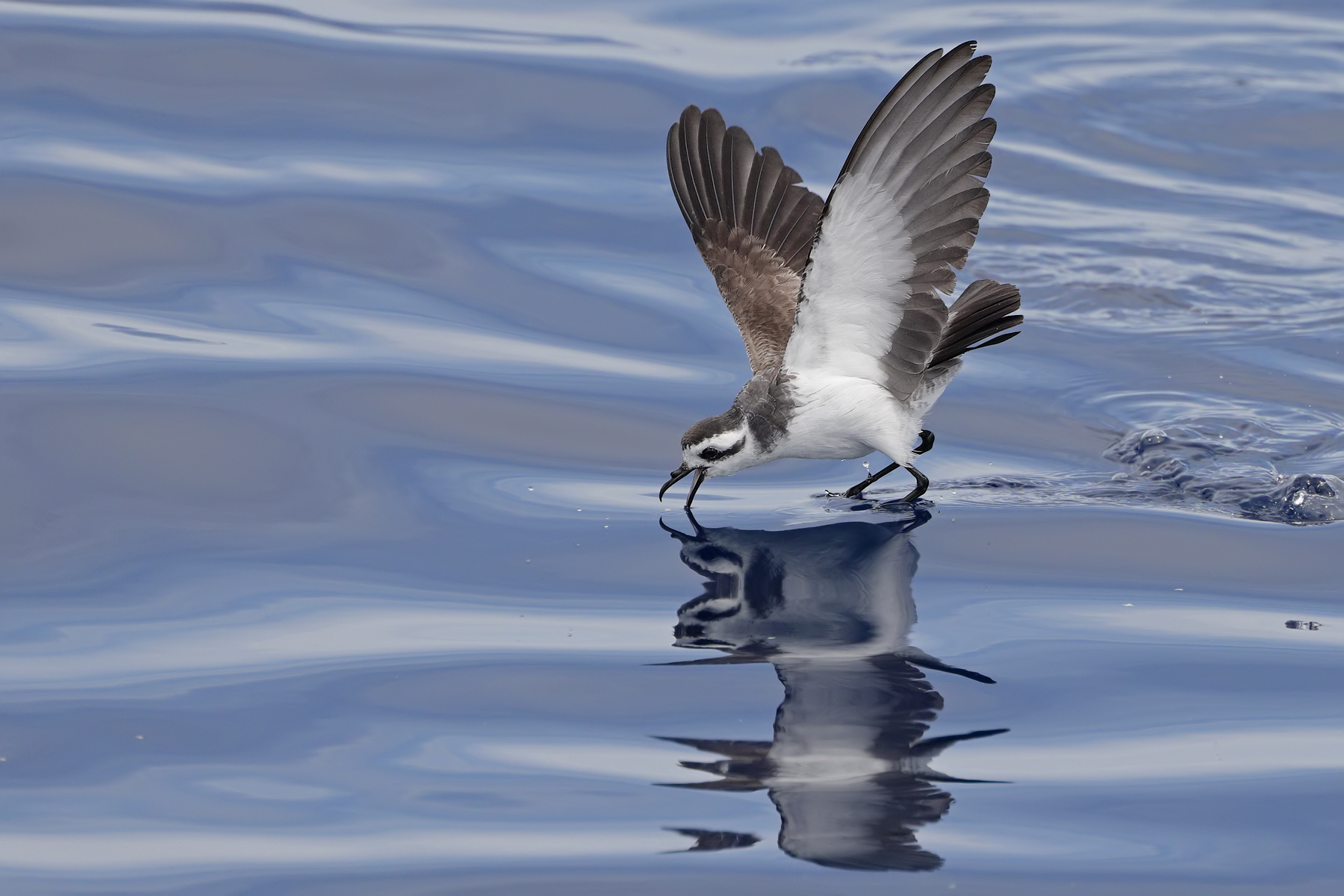 White-faced Storm-Petrel (Image ID 45427)