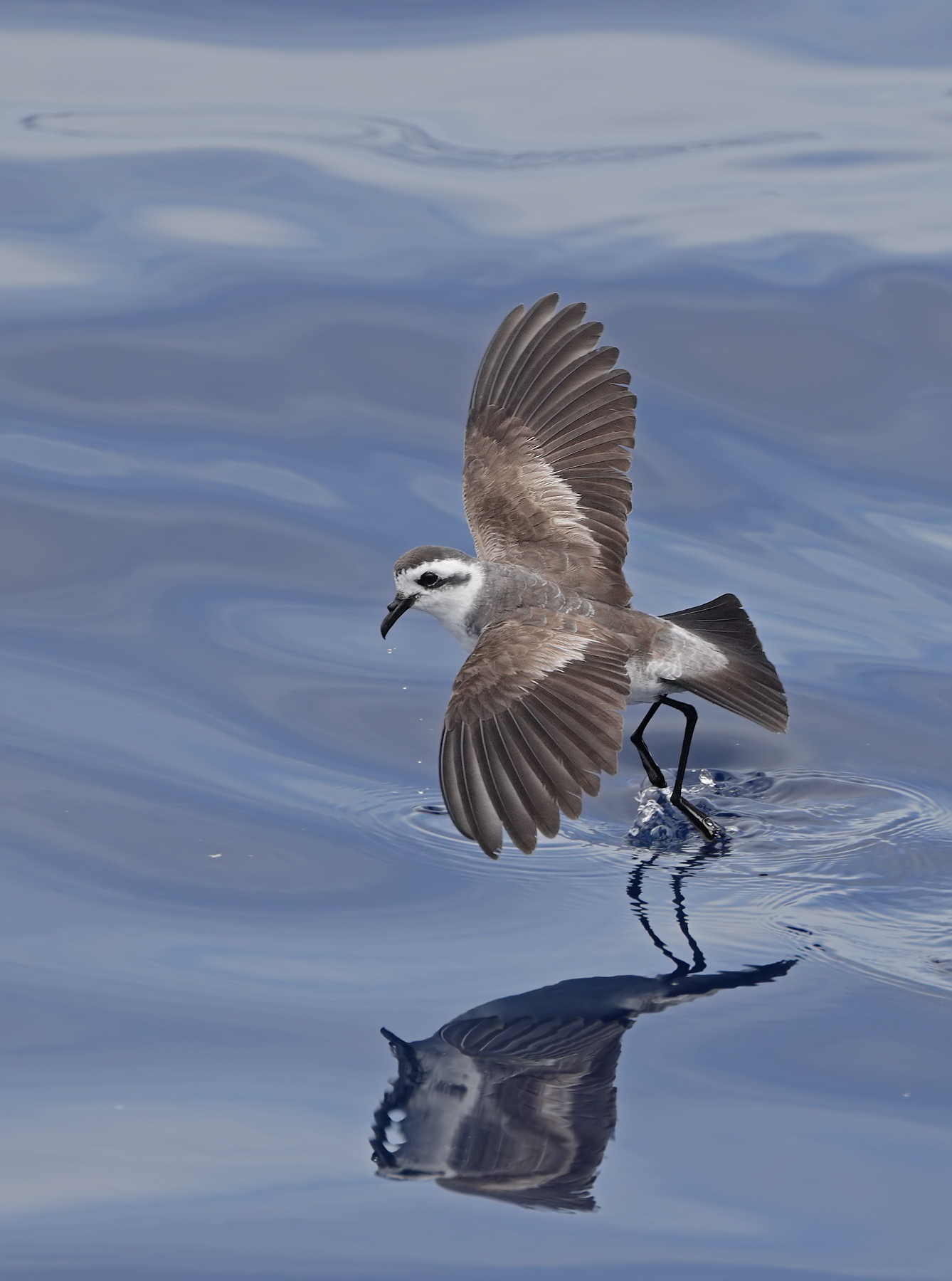 White-faced Storm-Petrel (Image ID 45429)