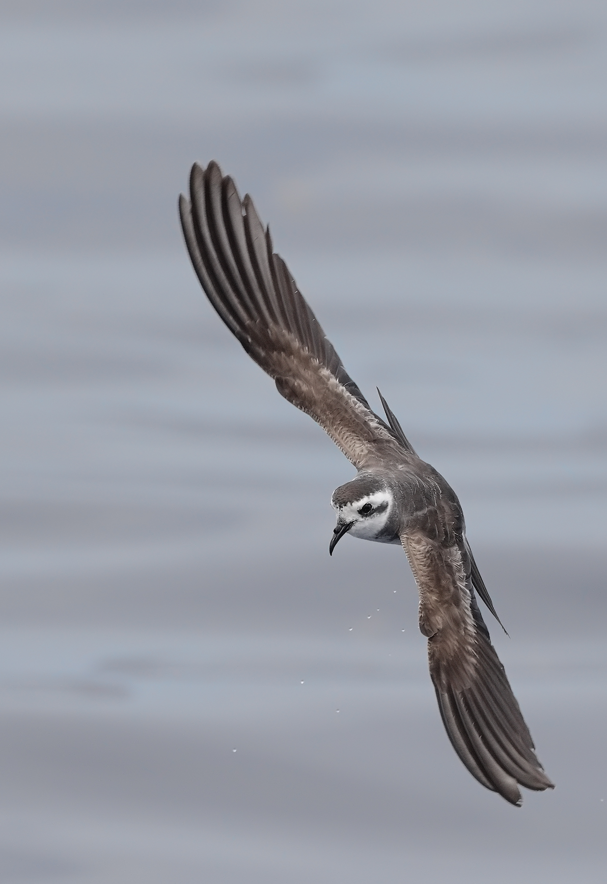 White-faced Storm-Petrel (Image ID 45428)