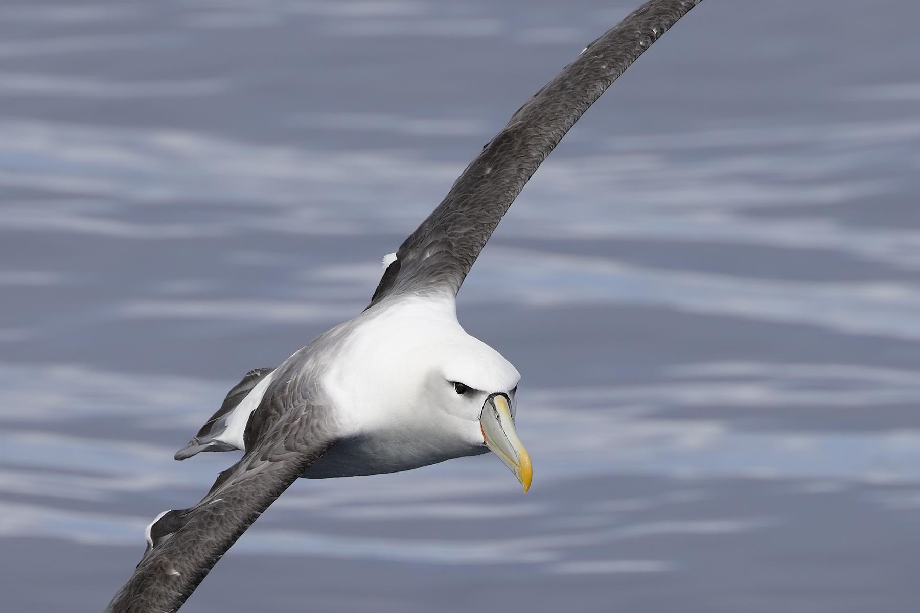 Shy Albatross (Image ID 45519)