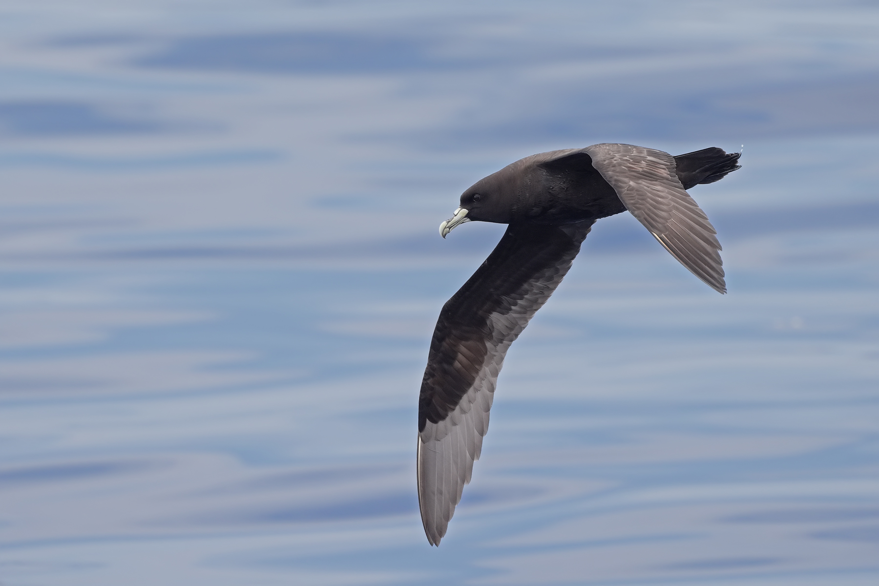 White-chinned Petrel (Image ID 45511)
