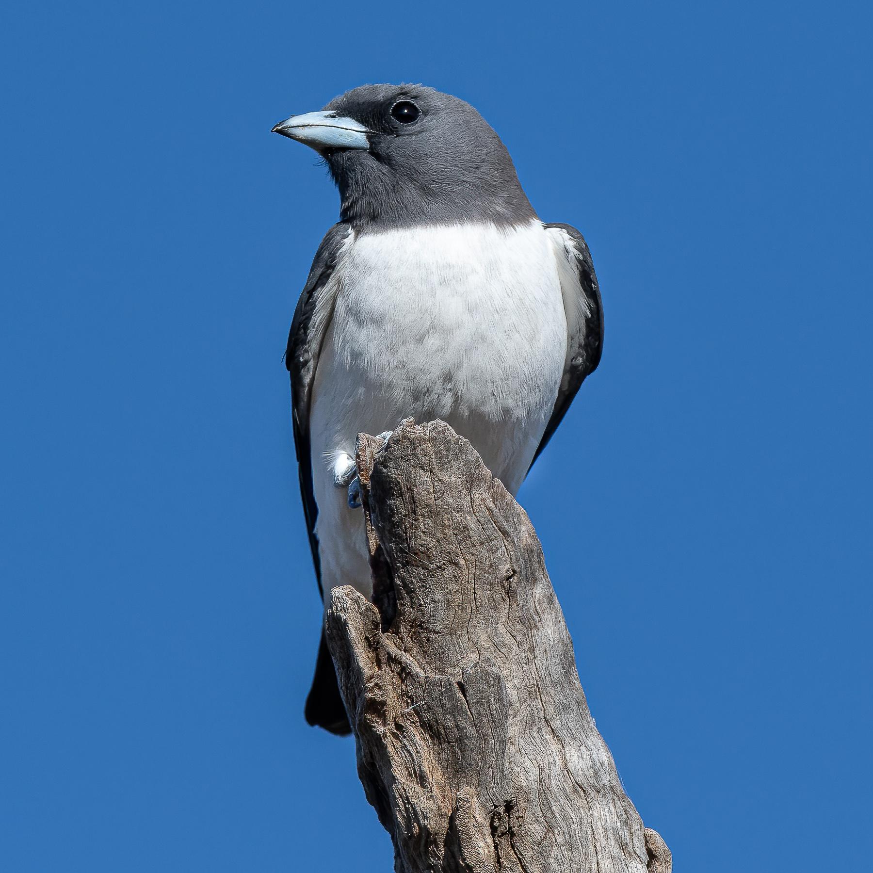 White-breasted Woodswallow (Image ID 45220)