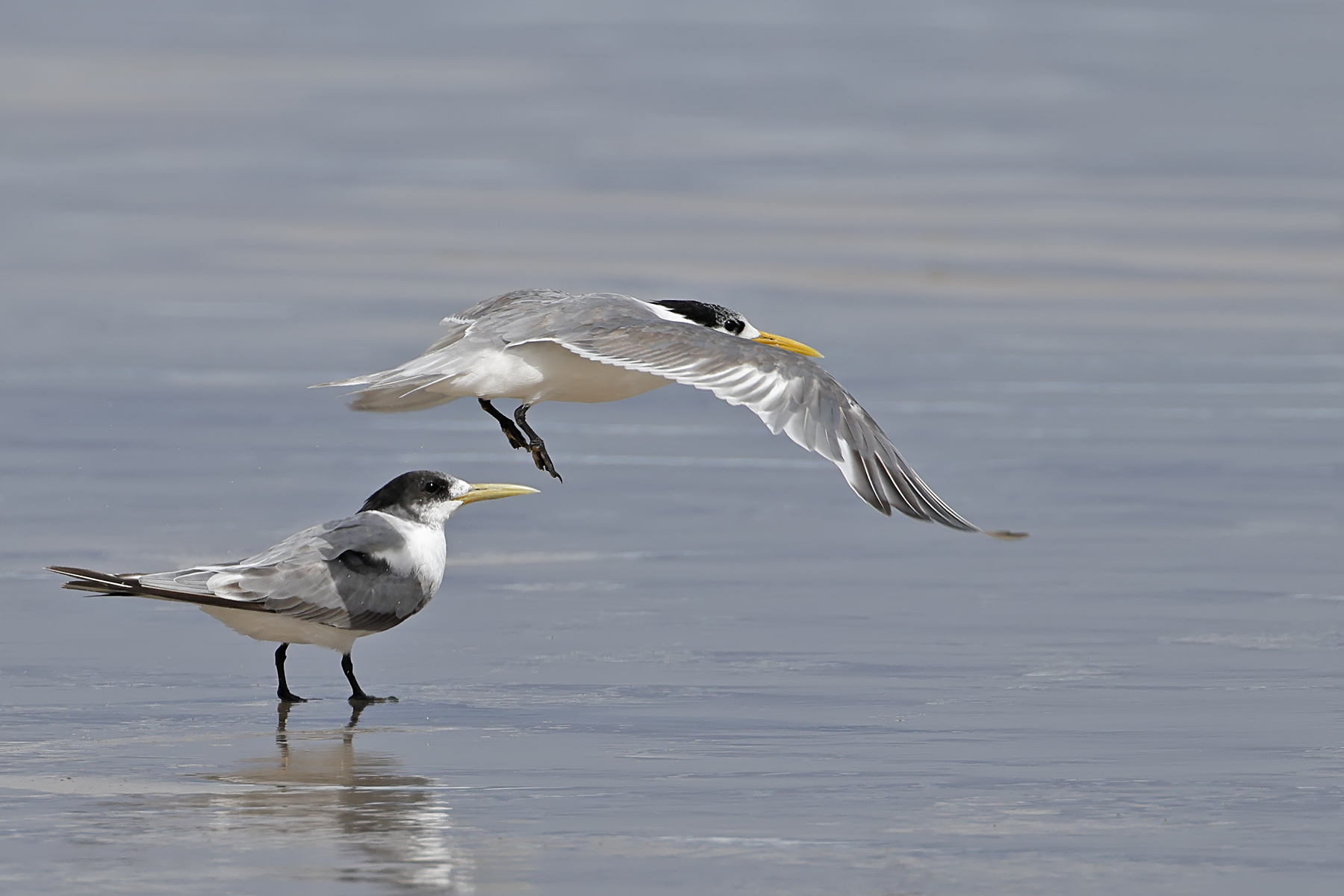 Greater Crested Tern (Image ID 45092)