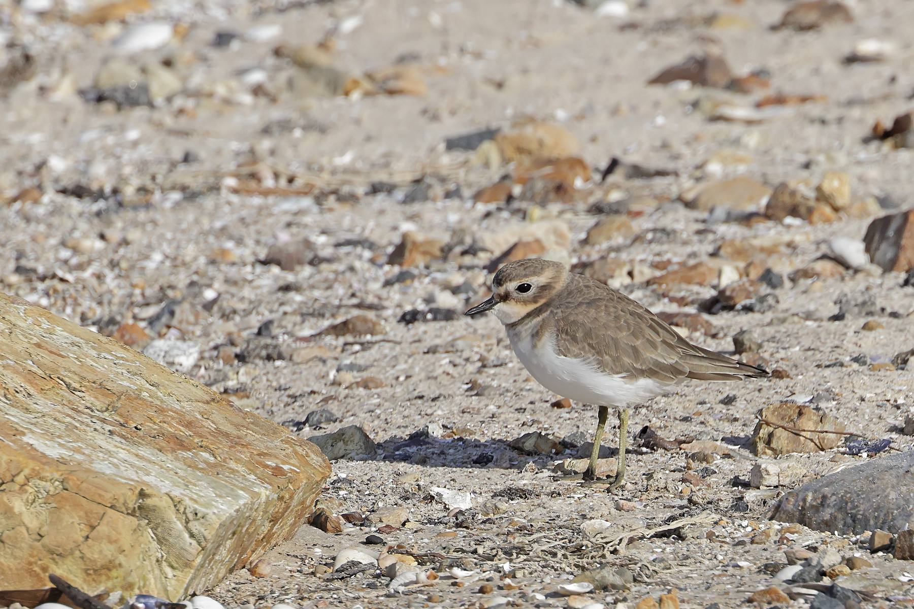 Double-banded Plover (Image ID 45441)