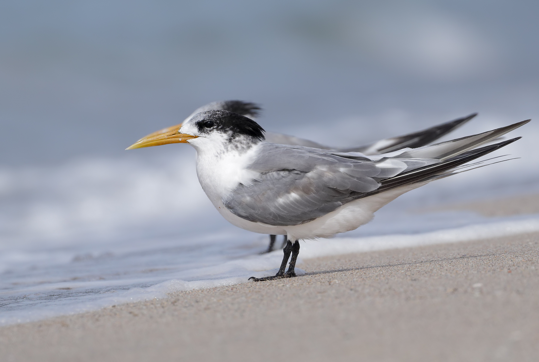 Greater Crested Tern (Image ID 45530)
