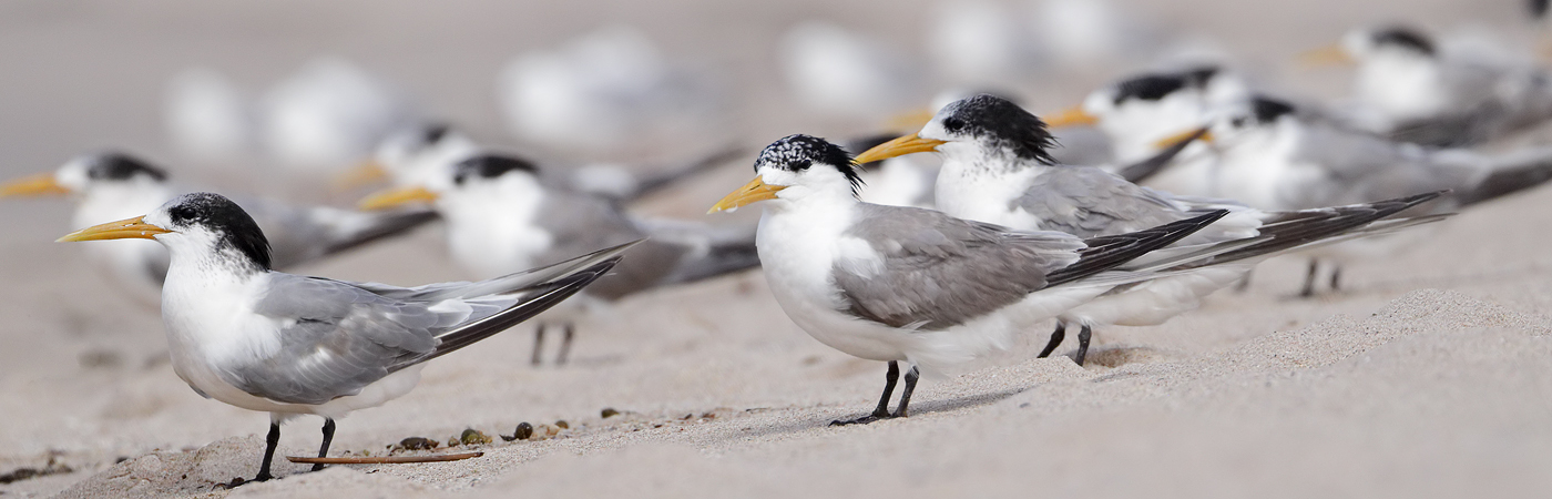 Greater Crested Tern (Image ID 45533)