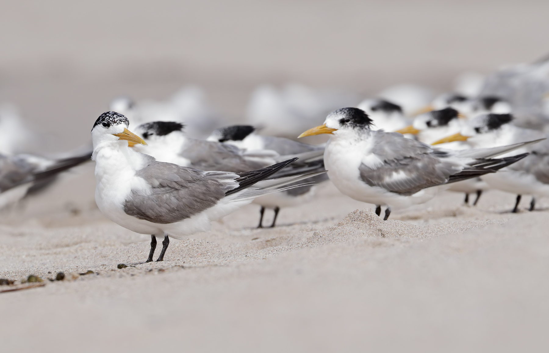 Greater Crested Tern (Image ID 45529)