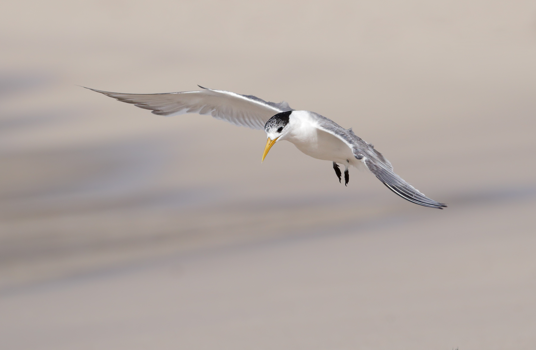 Greater Crested Tern (Image ID 45532)