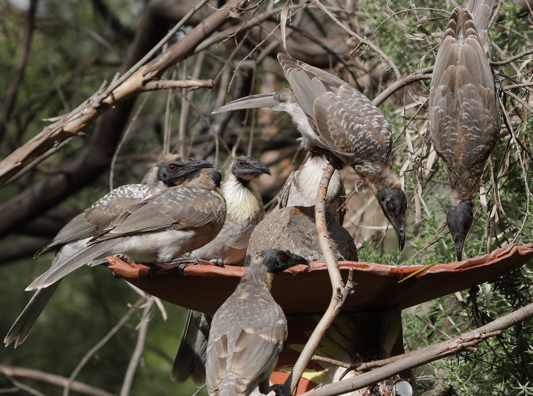Noisy Friarbird (Image ID 45140)