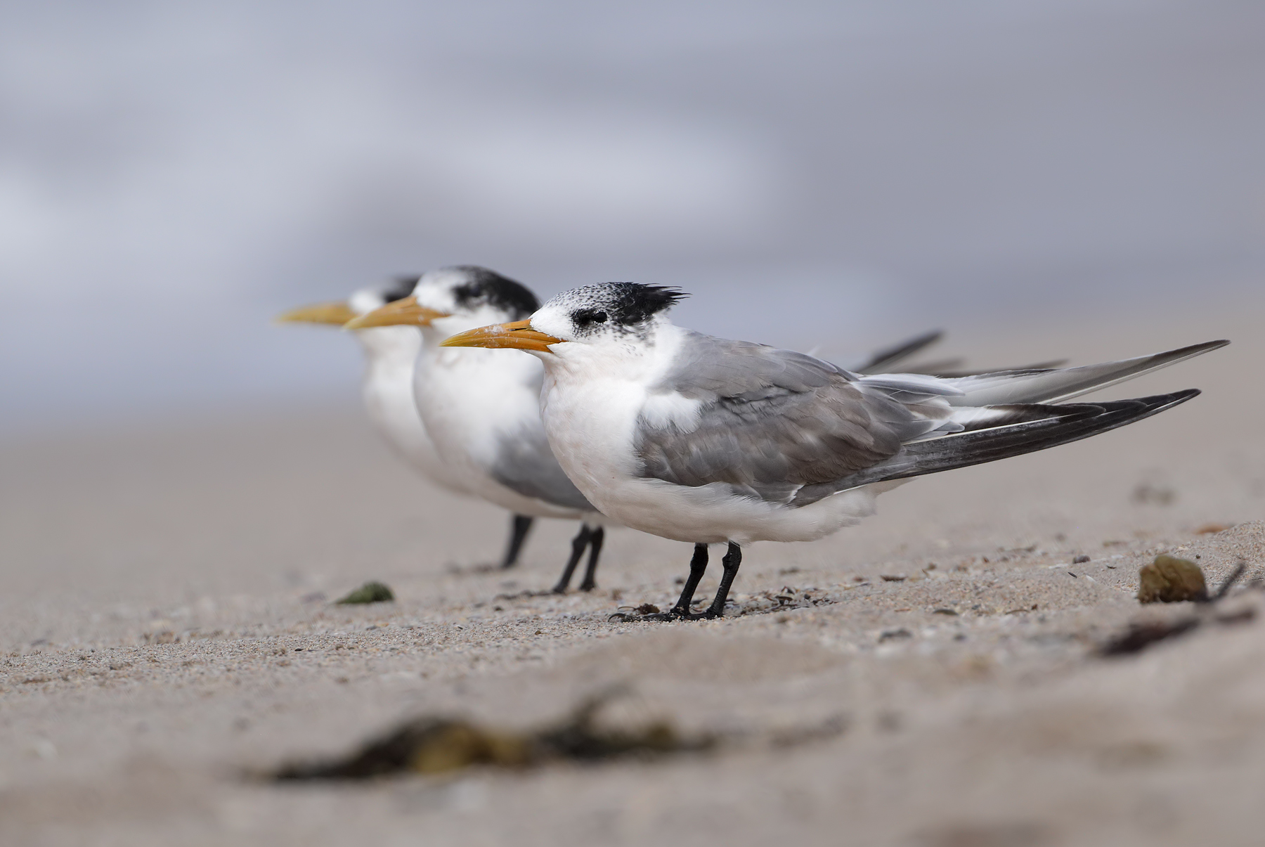 Greater Crested Tern (Image ID 45531)