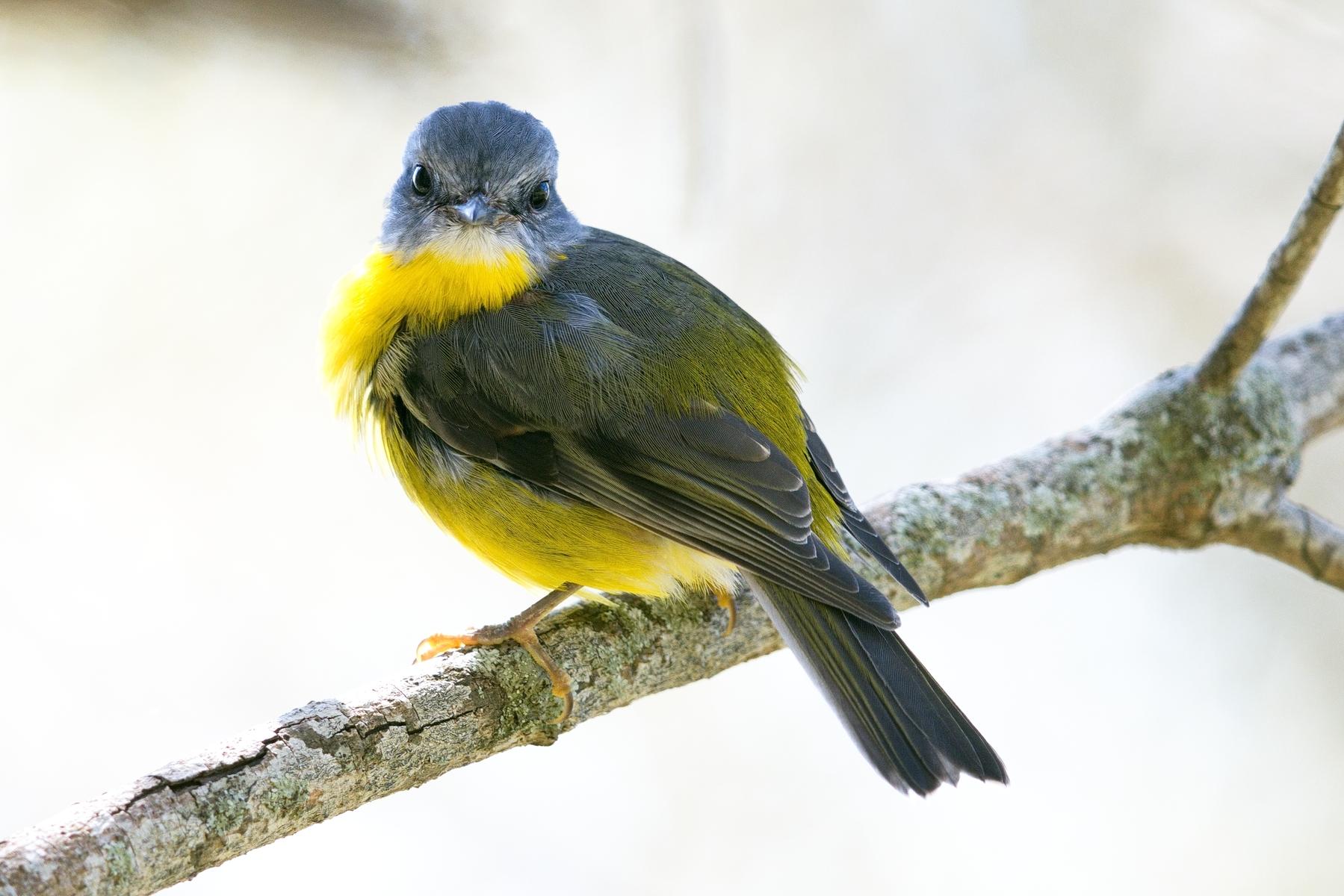 Eastern Yellow Robin (Image ID 45424)