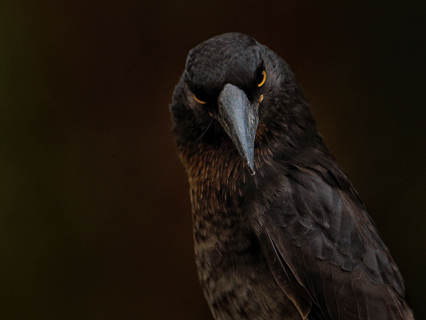 Pied Currawong (Image ID 45365)