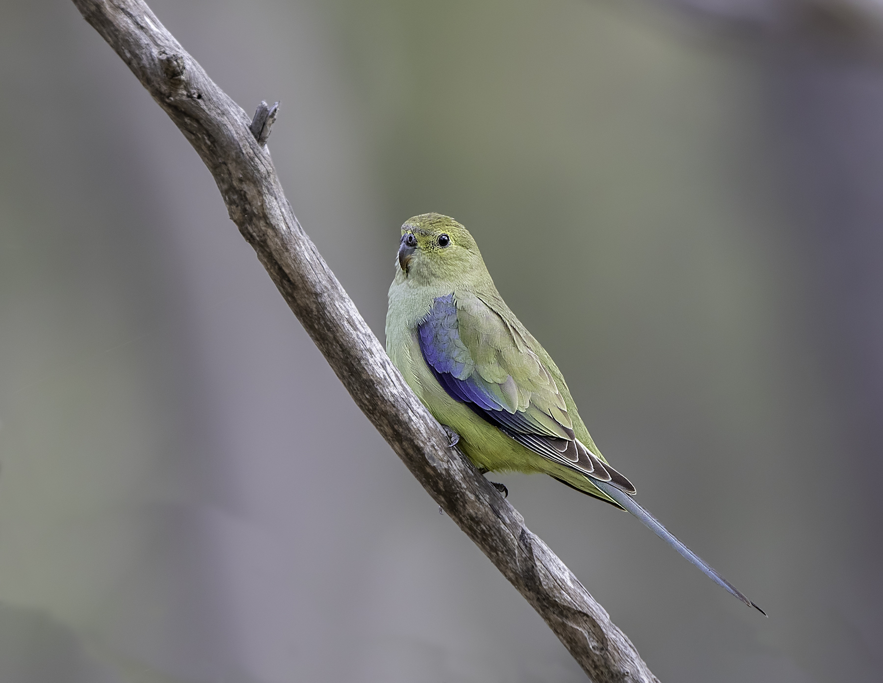 Blue-winged Parrot (Image ID 45408)