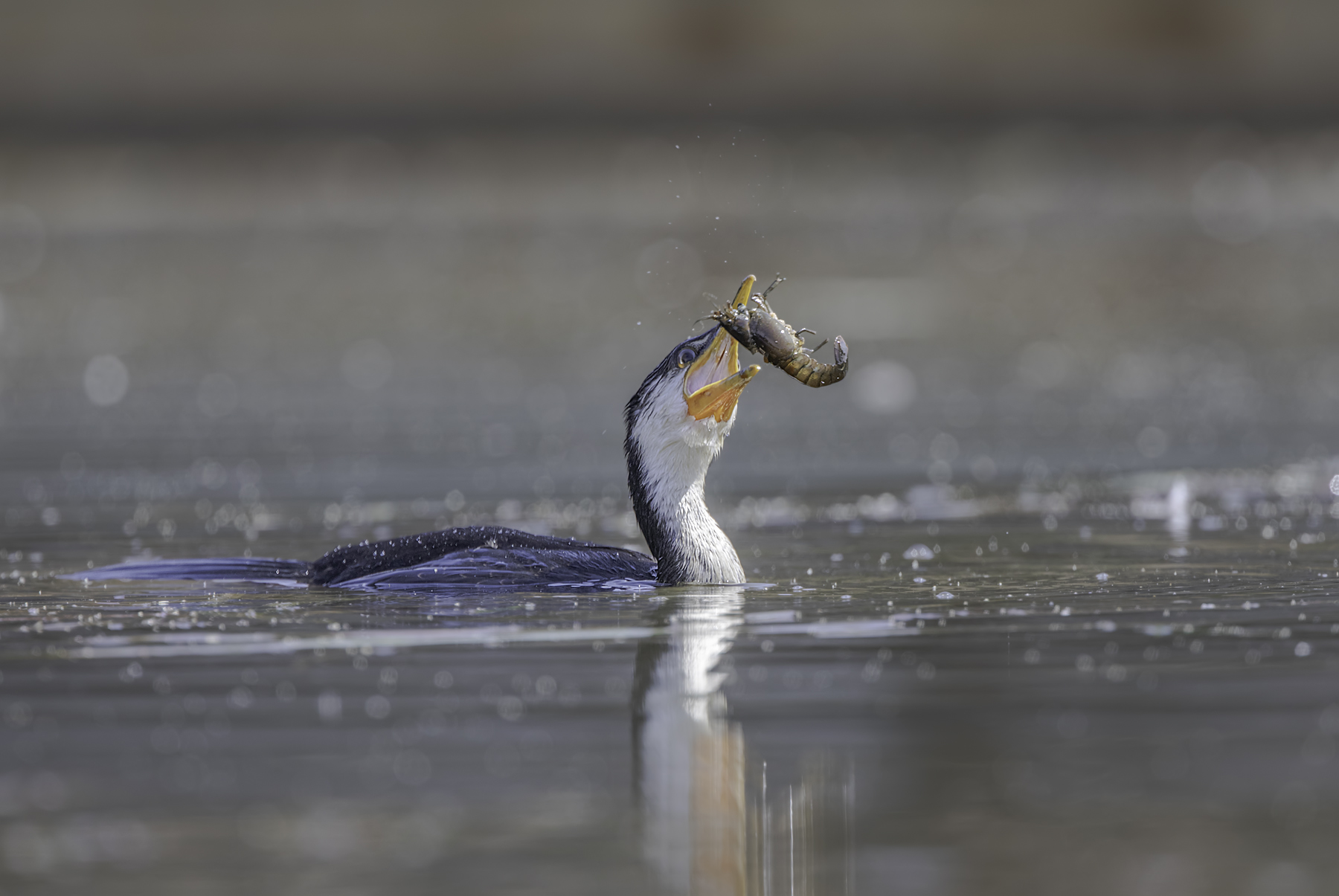 Little Pied Cormorant (Image ID 45404)