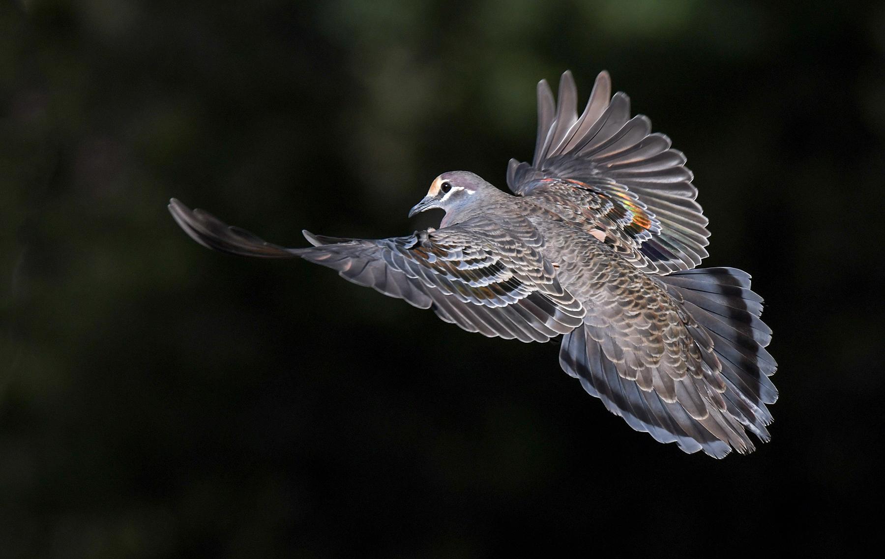 Common Bronzewing (Image ID 45159)