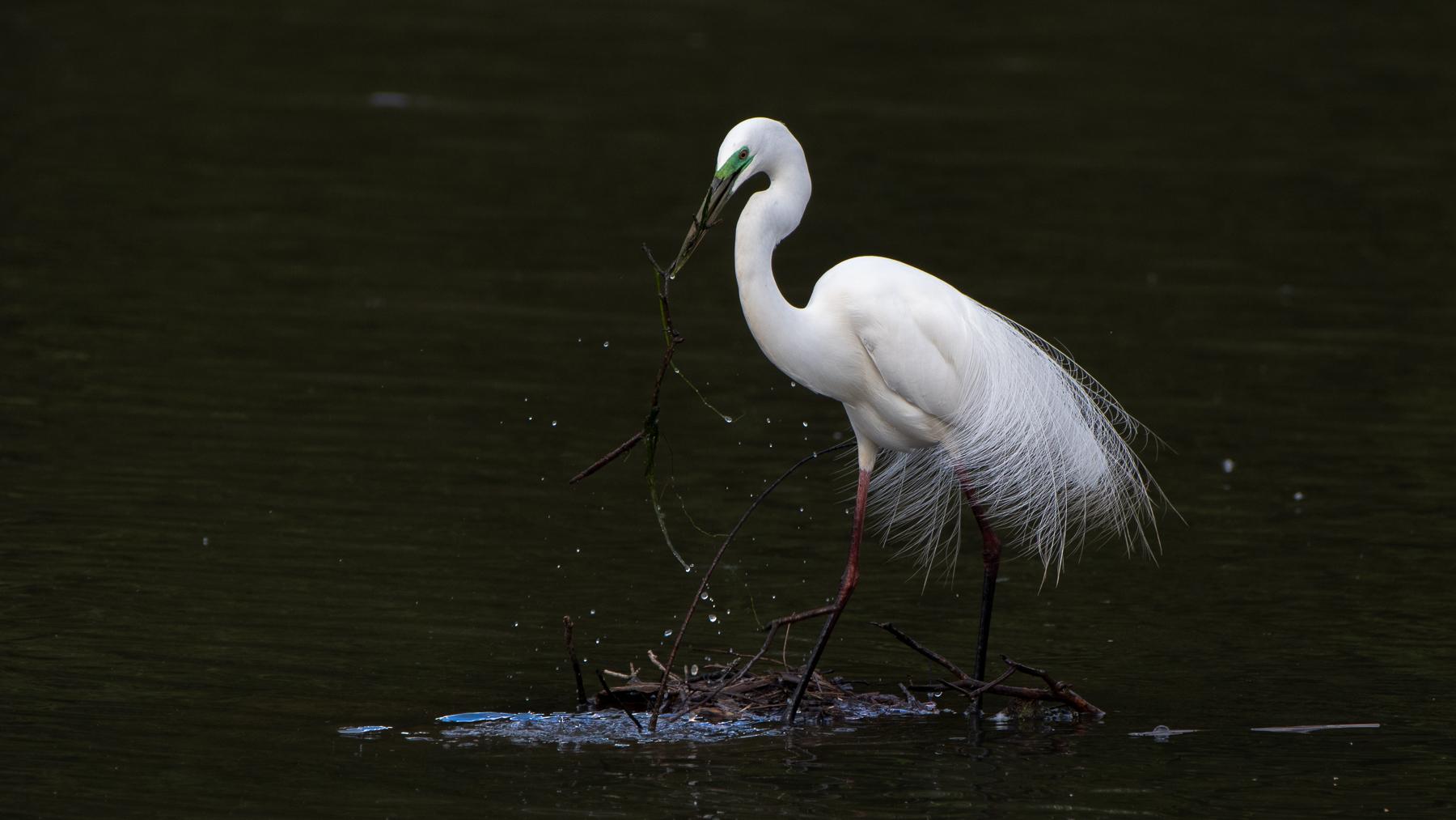 Great Egret (Image ID 45234)