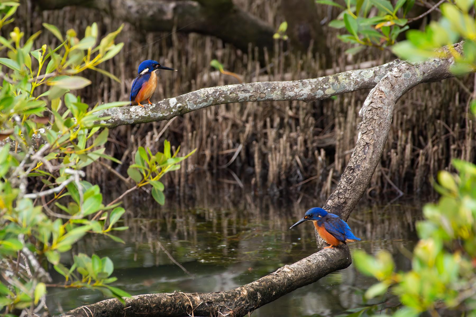 Azure Kingfisher (Image ID 45117)