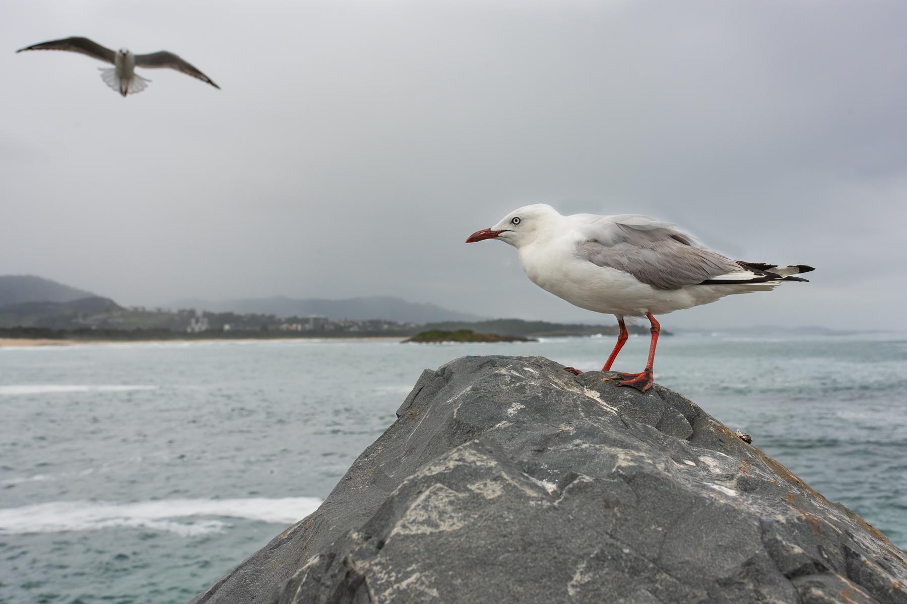Silver Gull (Image ID 45095)