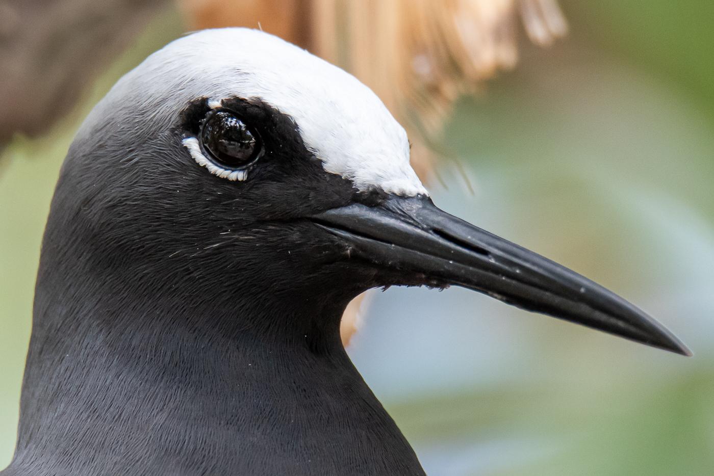 Black Noddy (Image ID 45502)