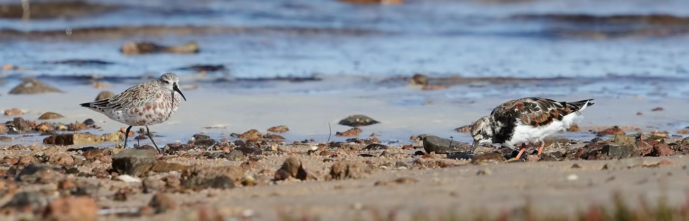 Curlew Sandpiper, Ruddy Turnstone (Image ID 45143)