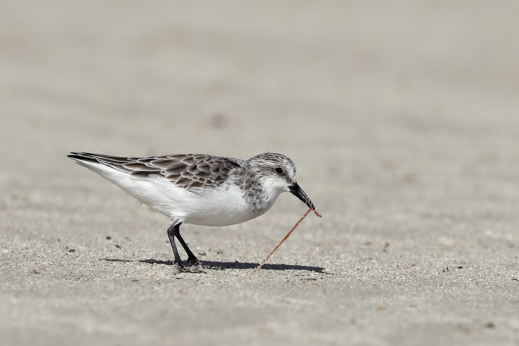 Red-necked Stint (Image ID 45144)