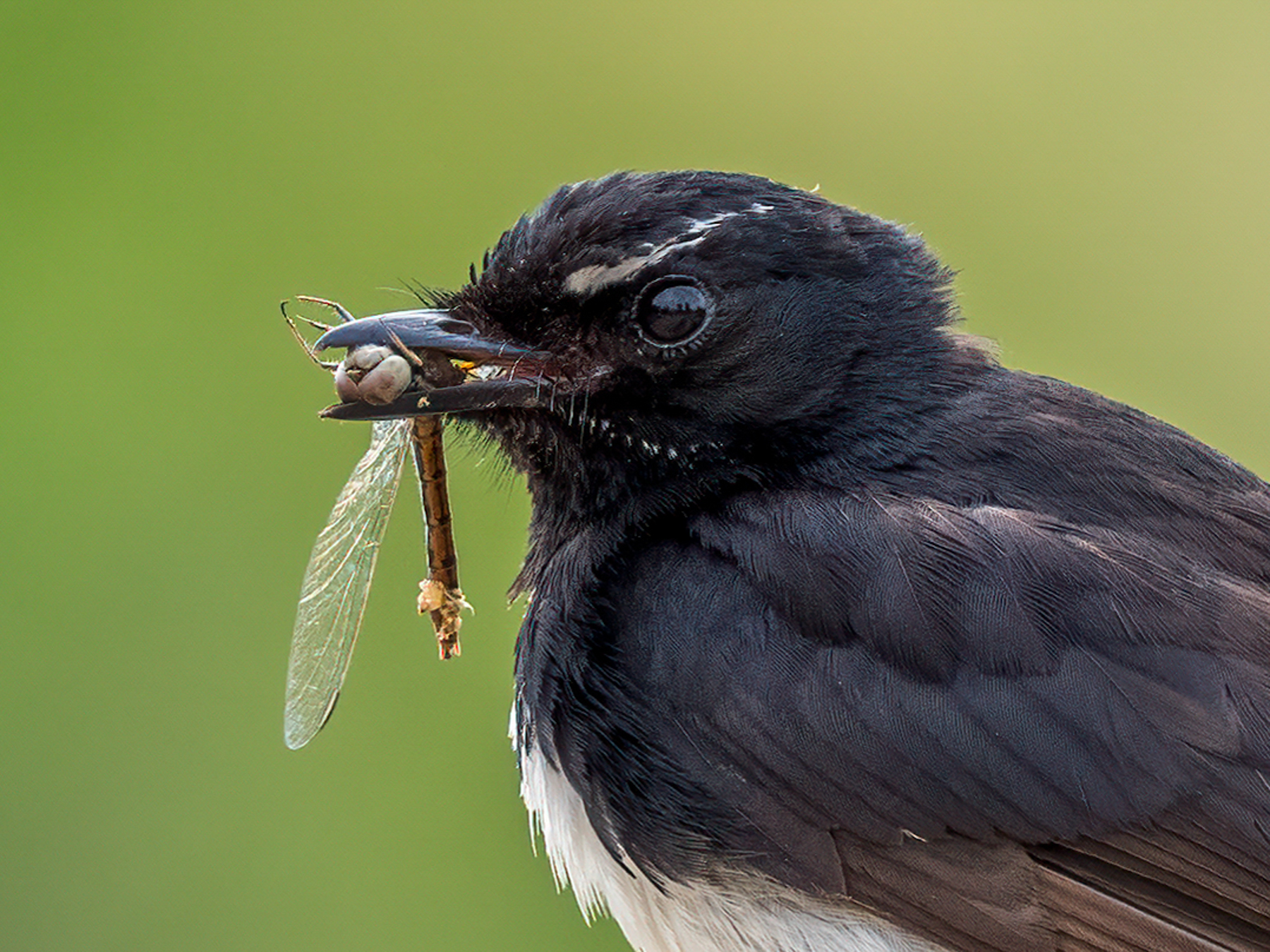Willie Wagtail (Image ID 45167)