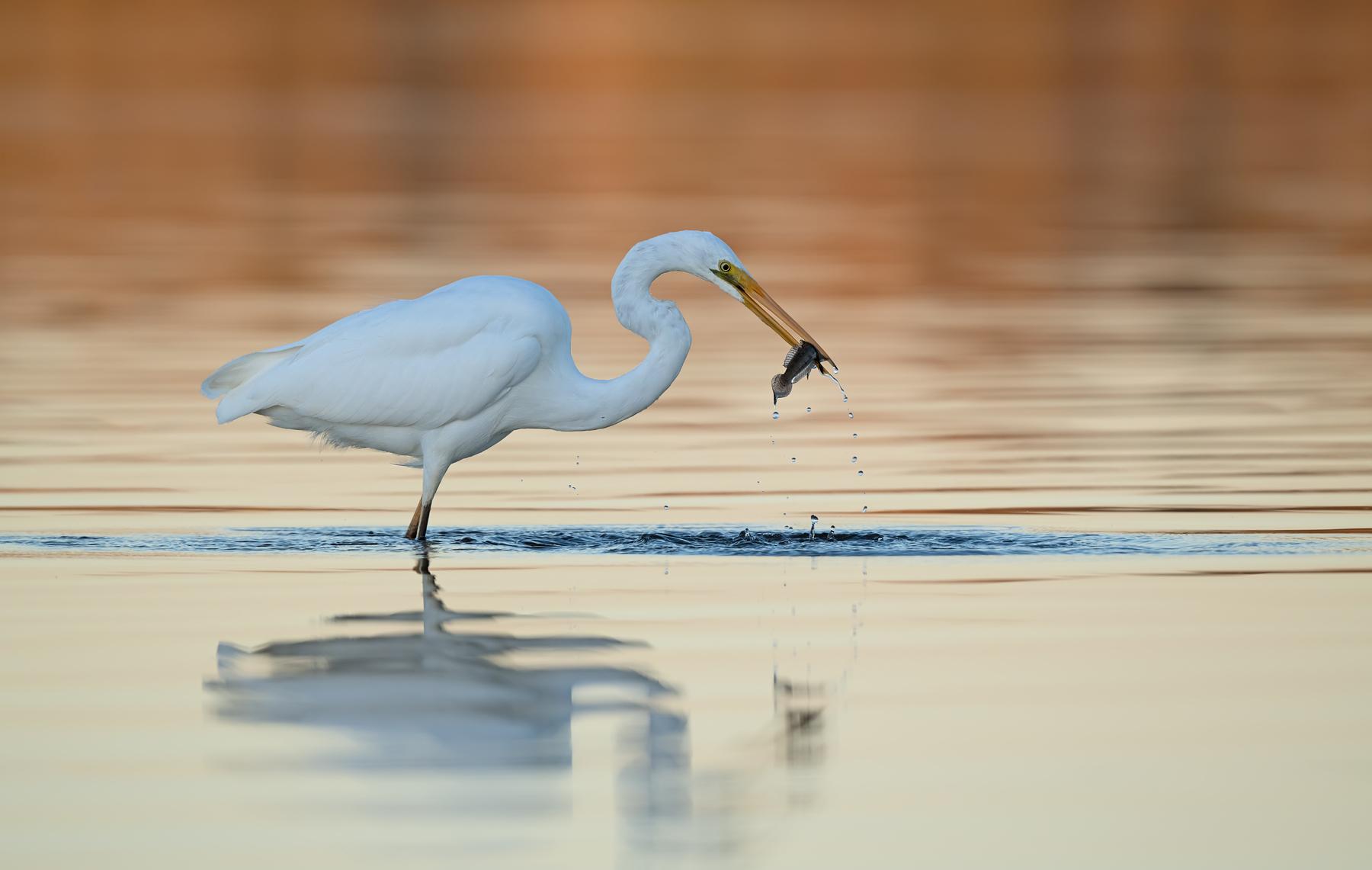 Great Egret (Image ID 45192)