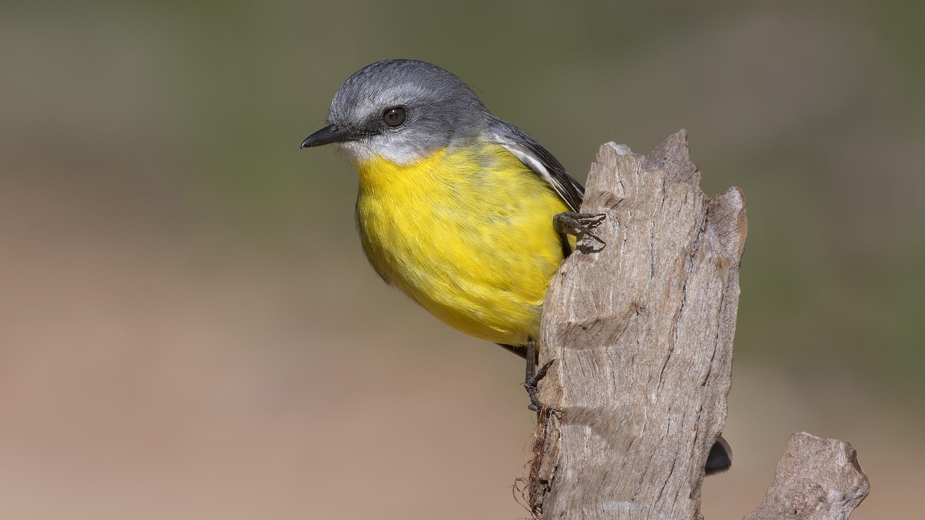 Eastern Yellow Robin (Image ID 45182)