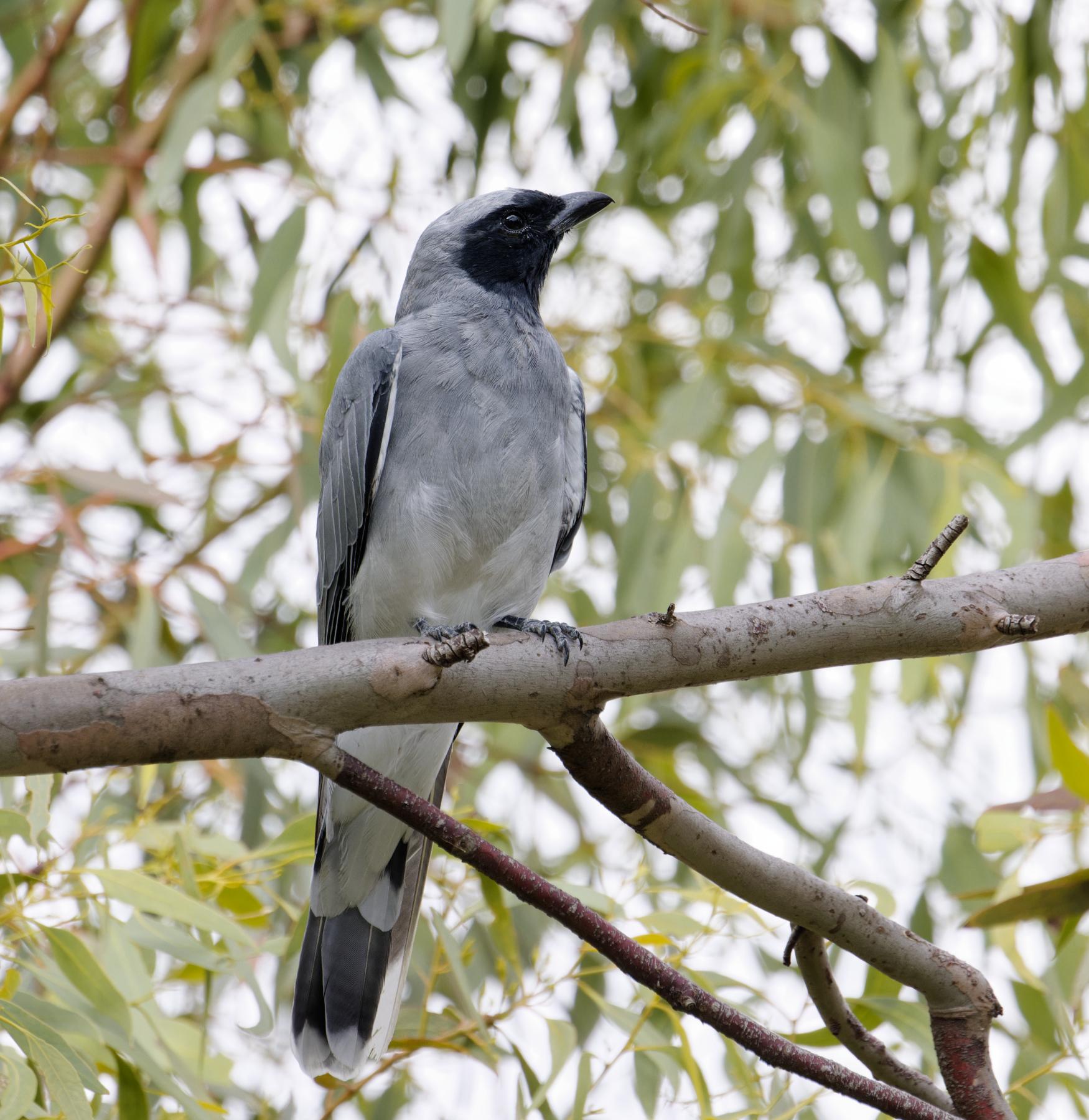 Black-faced Cuckoo-shrike (Image ID 45214)