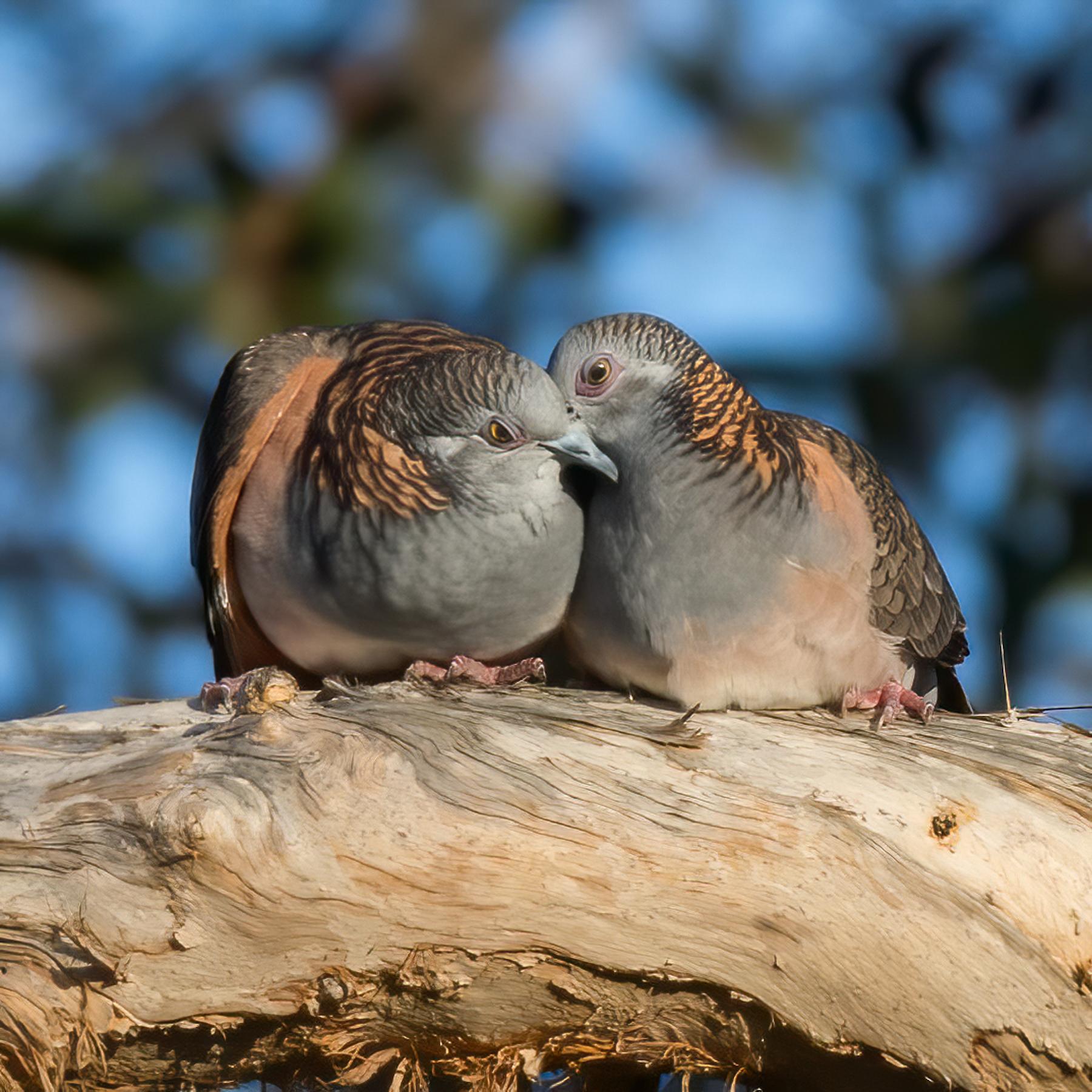 Bar-shouldered Dove (Image ID 45171)