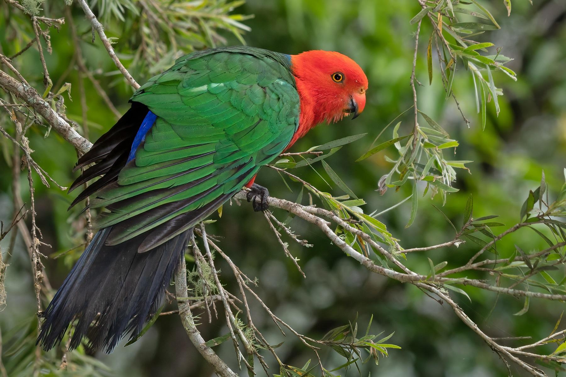 Australian King-Parrot (Image ID 45084)