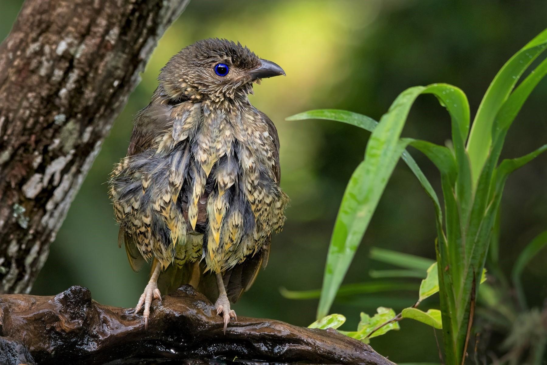 Satin Bowerbird (Image ID 45151)