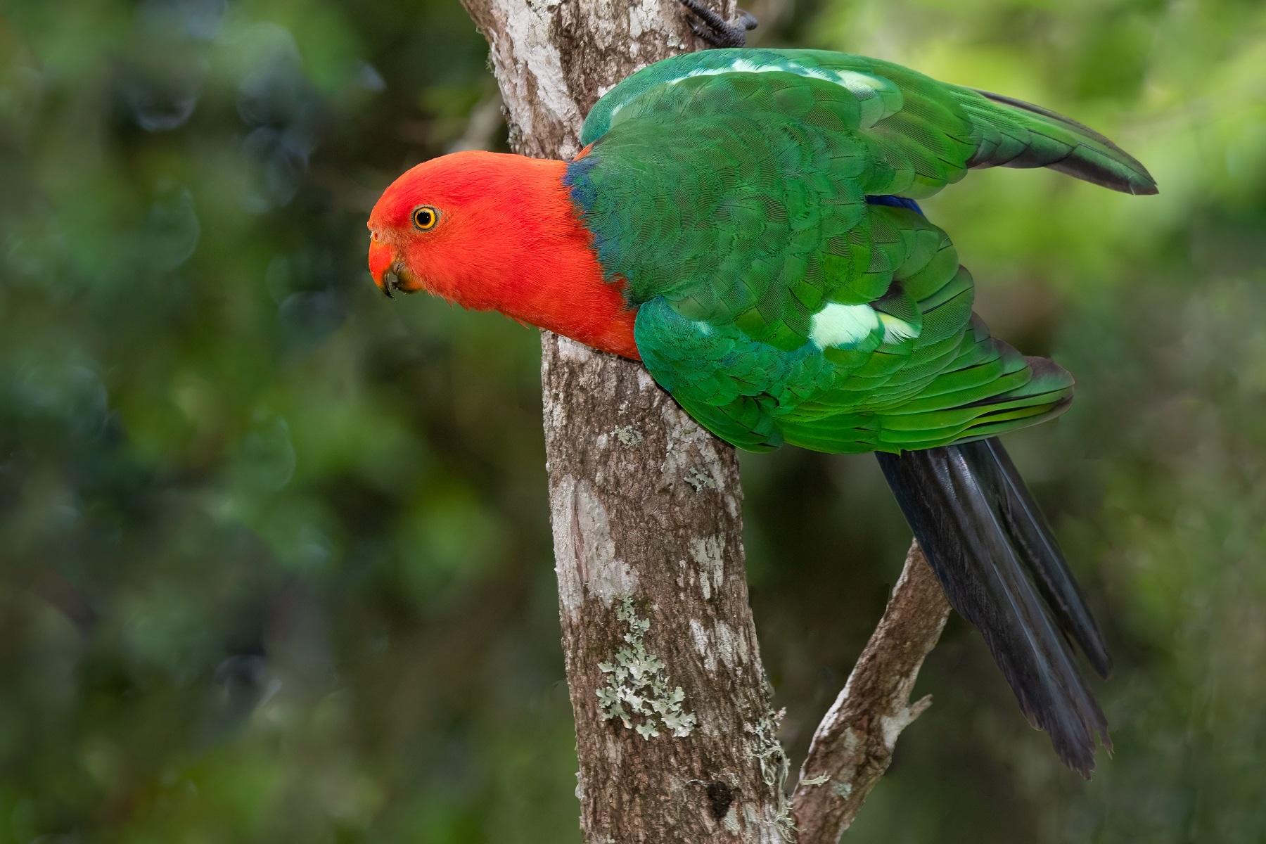 Australian King-Parrot (Image ID 45150)