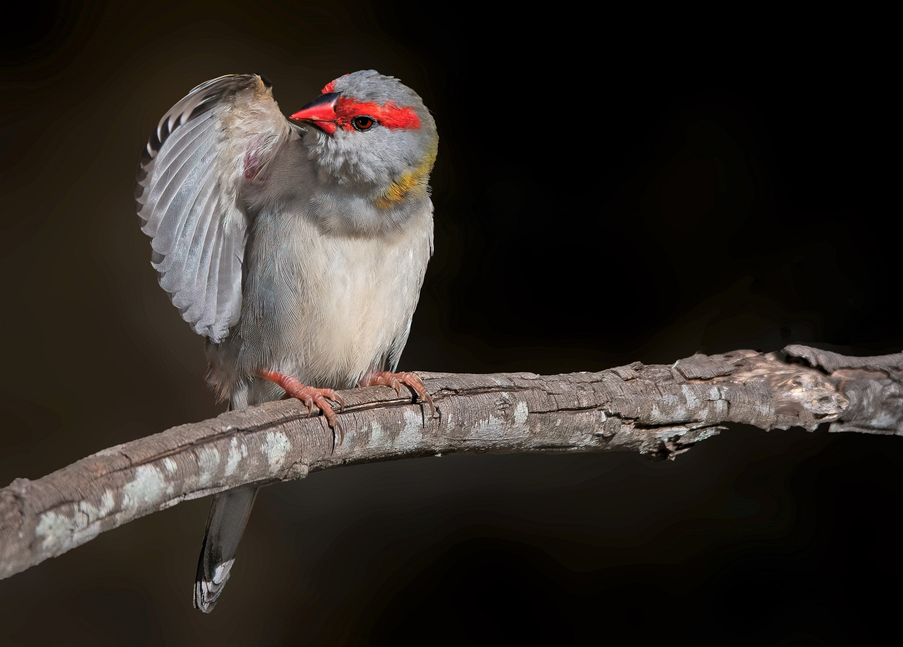 Red-browed Finch (Image ID 45231)