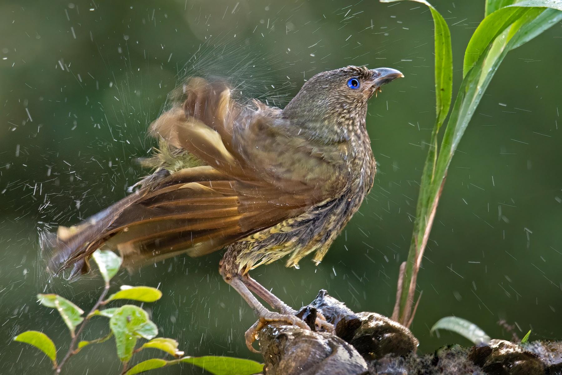 Satin Bowerbird (Image ID 45287)