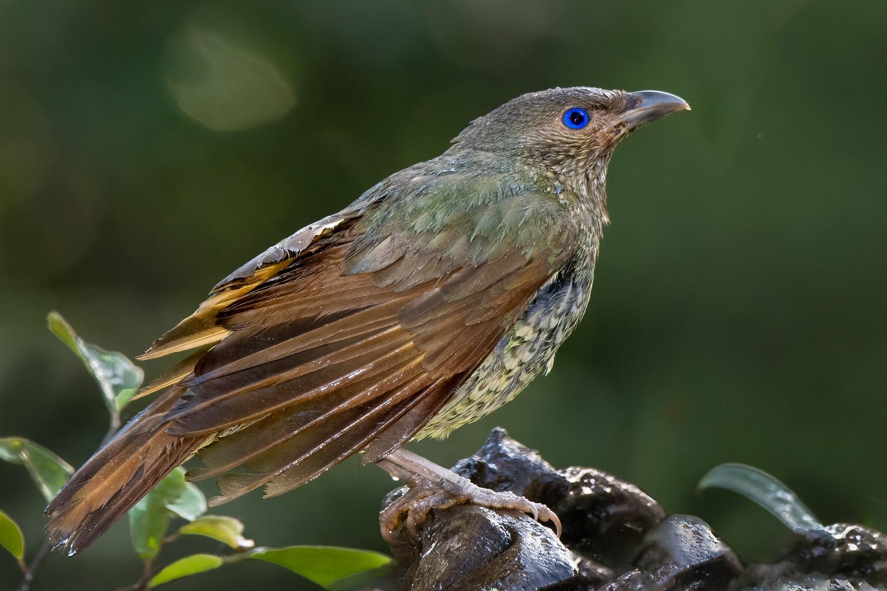 Satin Bowerbird (Image ID 45286)
