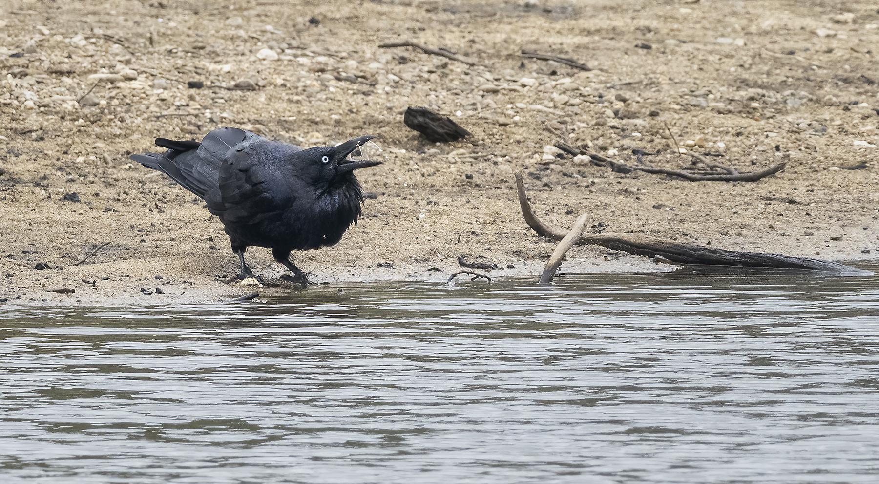 Australian Raven (Image ID 45190)